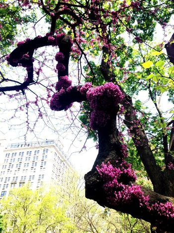 Architecture Beauty In Nature Blossom Branch Day Flower Freshness Growth In Bloom Love Nature New York City Park - Man Made Space Pink Color Plant Springtime Tree Urban Nature Urban Spring Fever Gramercy