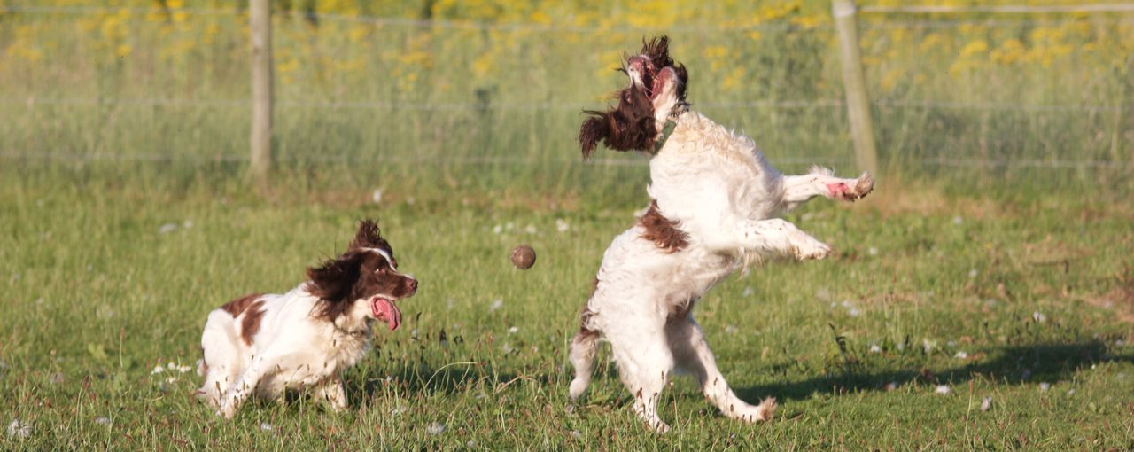 Cavalier king charles spaniels playing with ball on grassy field at park