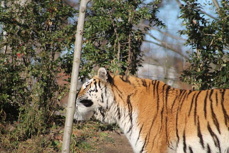 Tiger walking around