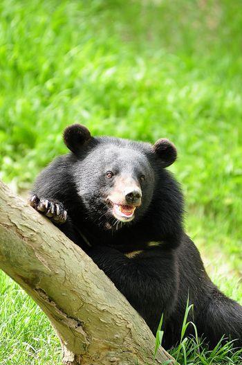 Asiatic black bear Asiatic Pennywort Bear Animal Animal Wildlife Animals In The Wild Black Nature Teddy Bear