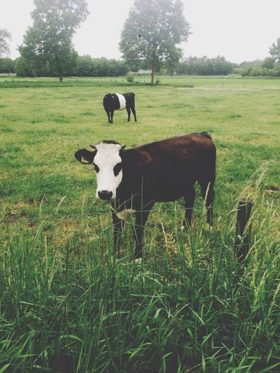 Muuu!! 🐄 Cows Nature EyeEm Nature Lover Nature_collection Animals Animal Beautiful Like Muuu🐄 Taking Photos