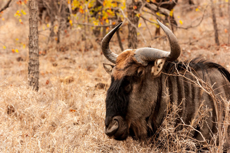 Wildebeest relaxing on grassy field