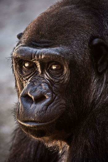 Animal Themes Animal Wildlife Ape Black Color Close-up Gorilla Mammal Monkey Nature One Animal Outdoors Portrait Primate Travel Traveling Zoo