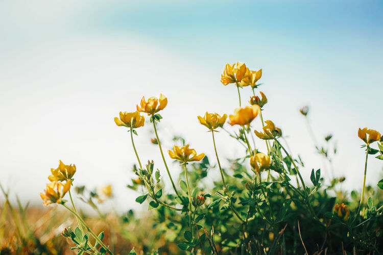 Beautiful yellow buttercup flowers in grass on blue sky background outdoor.