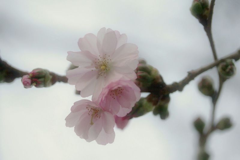 Close-up of pink flowers on tree against sky
