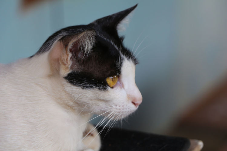 Domestic Domestic Cat Pets Cat Domestic Animals Mammal Feline Animal Animal Themes One Animal Vertebrate Close-up Whisker Animal Body Part Animal Head  Looking Indoors  Focus On Foreground No People Looking Away Profile View Animal Eye