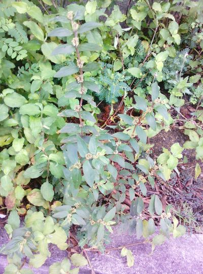 We call it Tawa Tawa. It's just a weed but it helps a lot for those who are Dengue Infected. Just the root of it, it helps to bring back up your platelets... Amazing Herb...