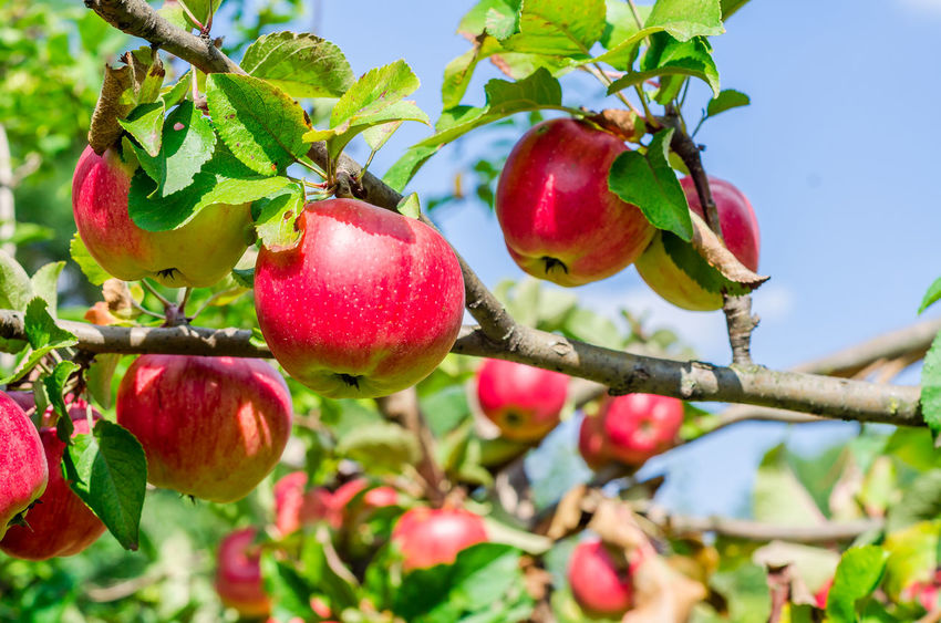 Branch Close-up Day Focus On Foreground Food Food And Drink Freshness Fruit Fruit Tree Growth Healthy Eating Leaf Nature No People Outdoors Plant Plant Part Red Ripe Tree Wellbeing