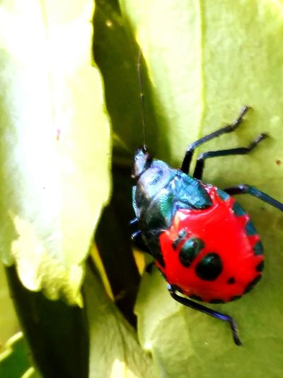 Red And Black Insect Colorful Ladybug Red Insect Full Length Leaf Close-up Animal Themes Green Color Beetle Tiny Invertebrate Arthropod Bug