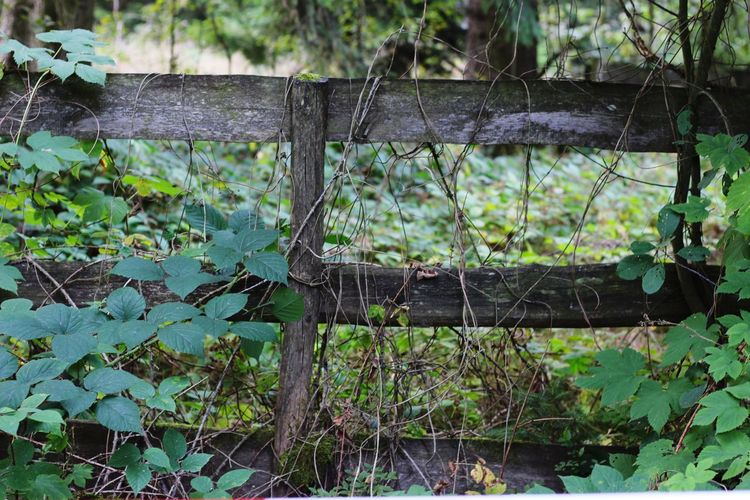 Mother nature Not like fences :) Tree Wood - Material Close-up Green Color Fence Wooden Wood Security Forestry Industry Vine