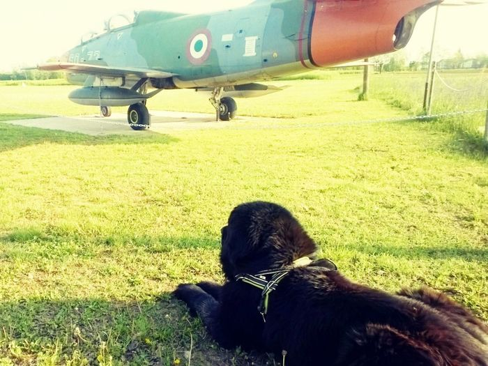 Newfoundland Dog Newfy Airplane AirPlane ✈ Field Green Color Take The Way To Wonderland ♥ My Paradise My Kingdom King Hanging Out Imagination Lovewithoutcondition Looking To The Other Side