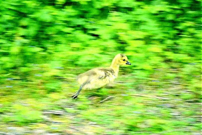 Bebe Animal Volatile Oisillon Run Sauvage Wildlife Vert Jaune Duvet