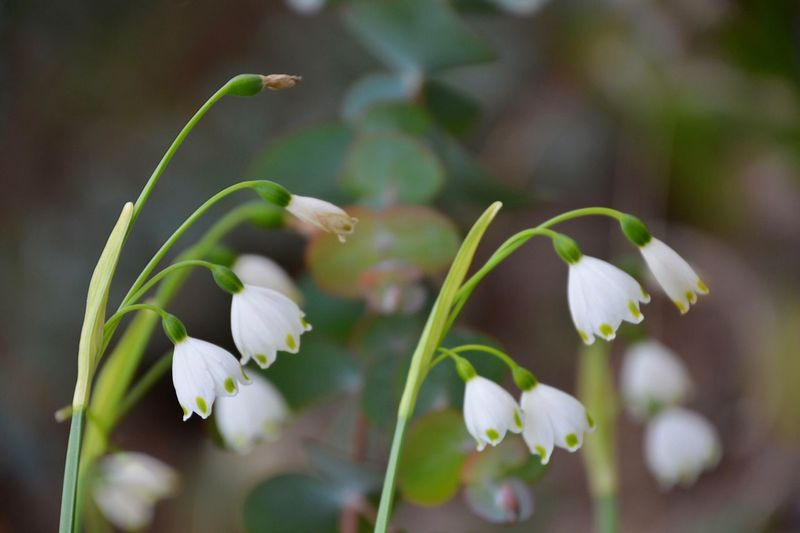 https://youtu.be/LMt5aUygqwQ Flower Plant Flowering Plant Growth Beauty In Nature Vulnerability  Fragility Focus On Foreground Day Flower Head Inflorescence Petal Close-up Freshness White Color Snowdrop No People Nature Green Color Plant Stem
