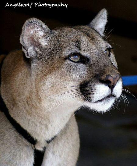 Animal Wildlife Eye4photography  Panther Florida Panther  Endangered