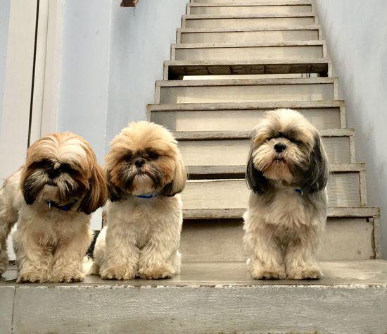 Dogs Dog Family Shitzu Shitzu Dog Shitzus