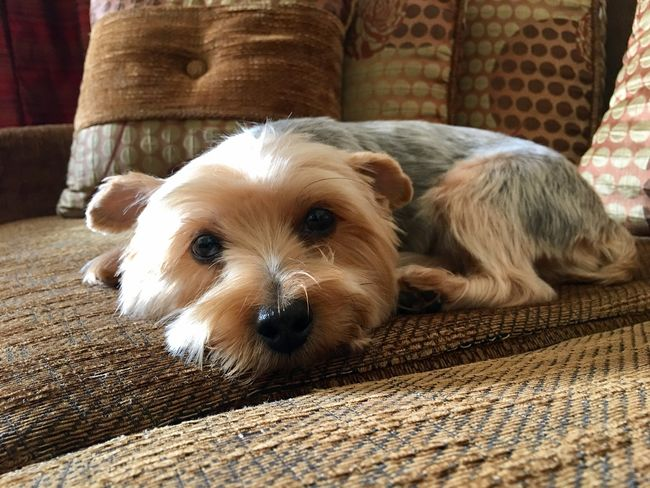 A cute little dog (yorkshire) is sitting comfortably on her favorite sofa and looking on you. Cuteness Little Cute Looking Animal Pet Dog Yorkshire Dog Pets Animal Themes Domestic Animals One Animal Looking At Camera Mammal Indoors  No People Close-up