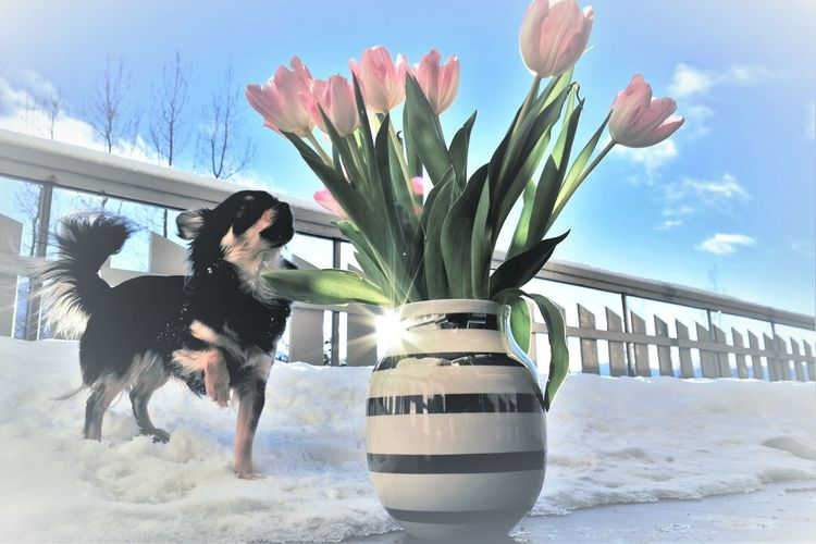 Blue Wave I Love My Dog Pink Flowers Dog Portrait Animal Dog Chichuahua Blue Sky My Balcony View Tulips🌷 Just Taking Photos From My Eyes Pets