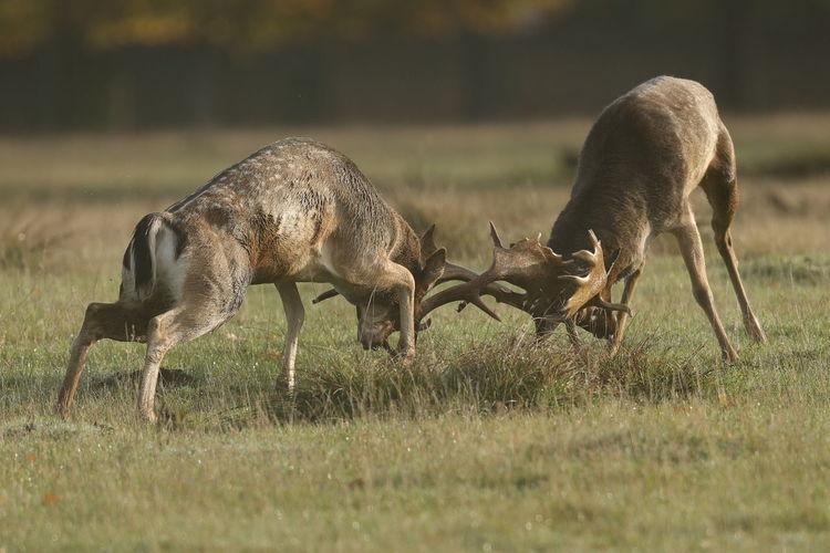 Reindeers fighting on land