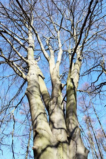 Tree Low Angle View Sky Bare Tree Plant Branch Trunk Nature Tree Trunk No People Day Blue Tranquility Outdoors Beauty In Nature Sunlight Clear Sky Tall - High Growth Strength Directly Below Tree Canopy  Beech Contrast Tree Trunk