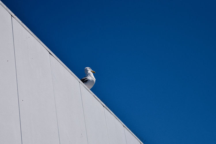 Low angle view of seagull perching on retaining wall against clear blue sky