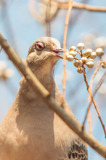 Close-up of mourning dove eating berries on plant