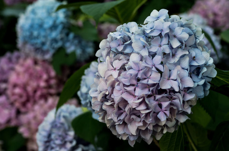 hortensia in bloom Beauty In Nature Bunch Of Flowers Close-up Day Flower Flower Head Flowering Plant Focus On Foreground Fragility Freshness Growth Hydrangea Inflorescence Leaf Lilac Nature No People Outdoors Petal Pink Color Plant Purple Springtime Vulnerability