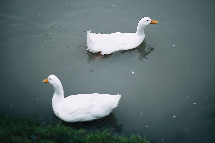 Animal Animal Family Animal Themes Animal Wildlife Animals In The Wild Bird Cygnet Day Duck Group Of Animals Lake Nature No People Outdoors Poultry Swan Swimming Two Animals Vertebrate Water Water Bird White Color