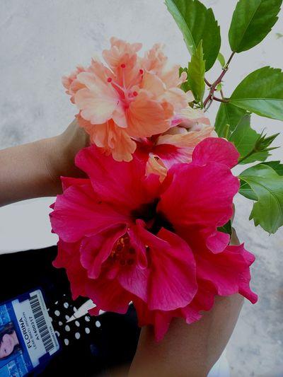 Hibiscus 🌺 Hibiscus Hibiscus Flower Flowers Pink Pink Flower Red Pitch Orange Asasiunimas