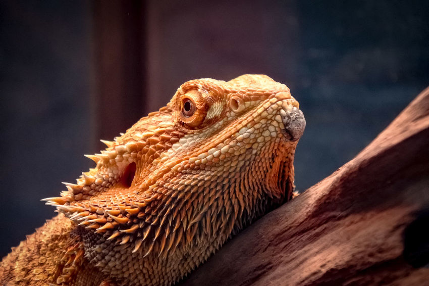 Close-up of cute bearded dragon reptile head Iguana Reptile Lizard Bearded Dragon Close-up Animal Scale Dragon Madagascar  The Natural World Chinatown Chameleon Spiked Exotic Pets Namib Desert Thorn Cactus Spiky Camouflage Yukon Snake Crocodile Gecko Confined Space Animal Eye Animal Skin Chinese Dragon The Portraitist - 2018 EyeEm Awards