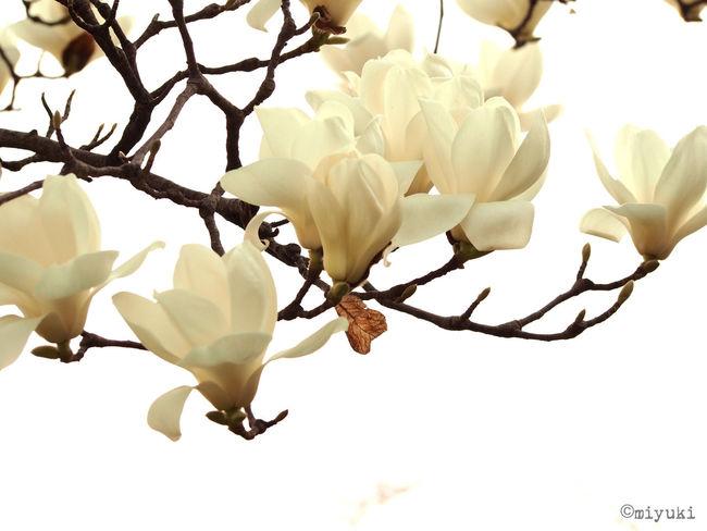仙台でも木蓮が開花! Magnolia-report-2015 Magnolia Flowerporn EyeEm Nature Lover