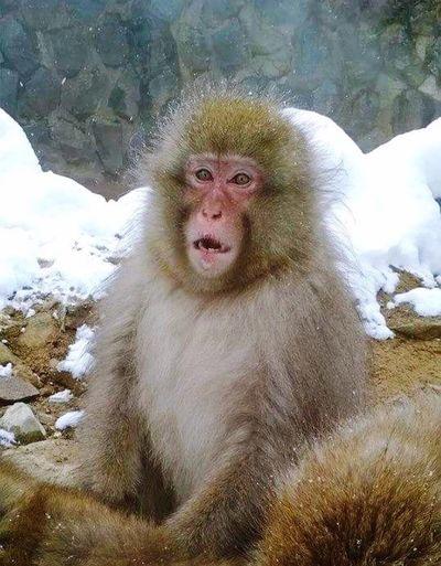 Bbrrrr It's Cold It's Freezing Outside !  Snow Monkey Cold Monkey