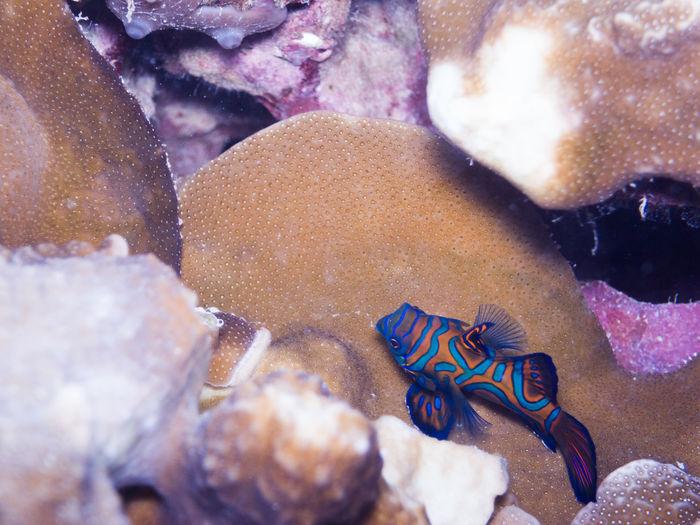 A Mandarinfish
