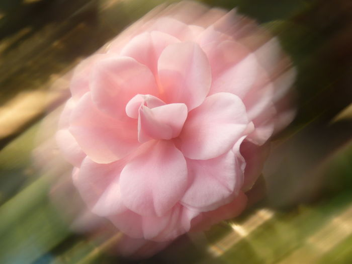 Camellia Camellia Aleq Beauty In Nature Camellia Flower Camellia Flowers Close-up Day Flower Flower Head Flowering Plant Fragility Freshness Growth Inflorescence Nature No People Outdoors Petal Pink Color Plant Selective Focus Soft Focus Sunlight Vulnerability