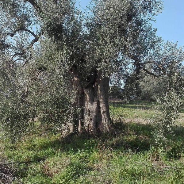 No People Outdoors Nature Beauty In Nature Growth Tree Field Sky Olive Tree Tree Growth Secular