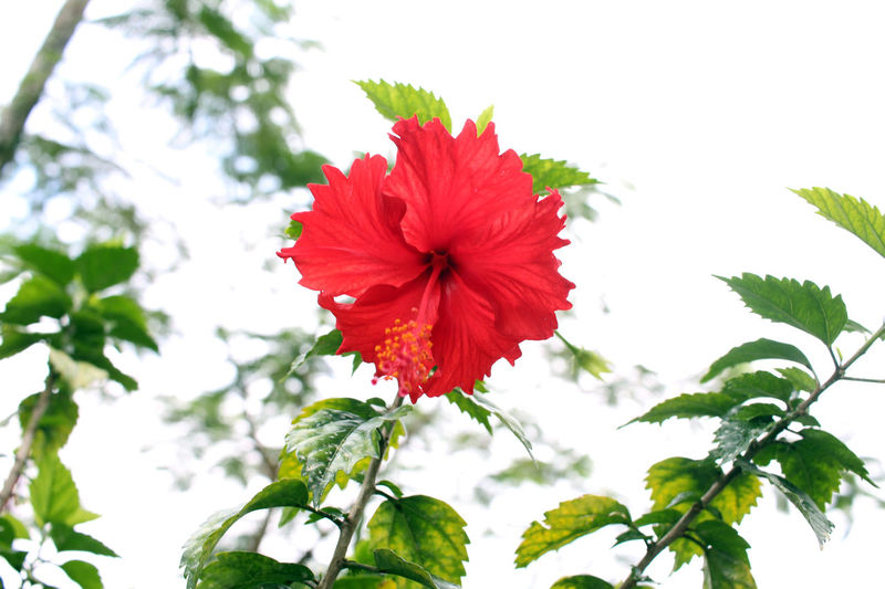 Beauty In Nature Bloom Blooming Blossom Botany Bunga Raya Close-up Day Flower Flower Head Fragility Freshness Growth Hibiscus Hibiscus 🌺 In Bloom Nature Outdoors Petal Red Red Color Single Flower Sky Springtime Vibrant Color