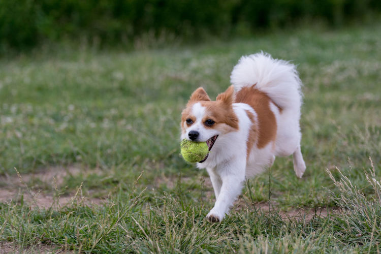 Dog holding ball in mouth on grassy field