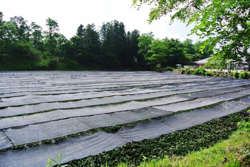 長野県 安曇野市 大王わさび農場 Japan Azumino Daiou Wasabi Farm