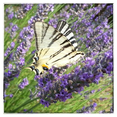 Butterfly . . Provence Photo Animals Nature