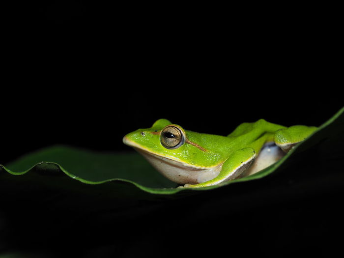 Close-up of green frog against black background