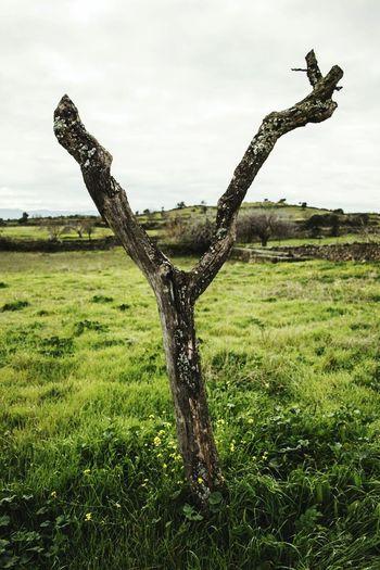 La vida en el campo es la vida mejor. Nature Nature Photography Photography Photooftheday Canonphotography árbol Tree Trunk Rainy Sky