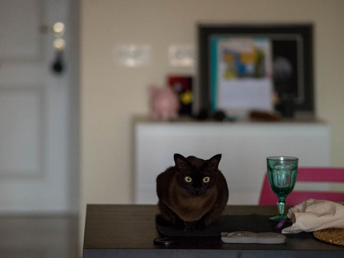 Animal Themes Burmese Cat Cat Domestic Animals Domestic Cat Feline Indoors  One Animal Pets Sitting Sitting On A Table Table