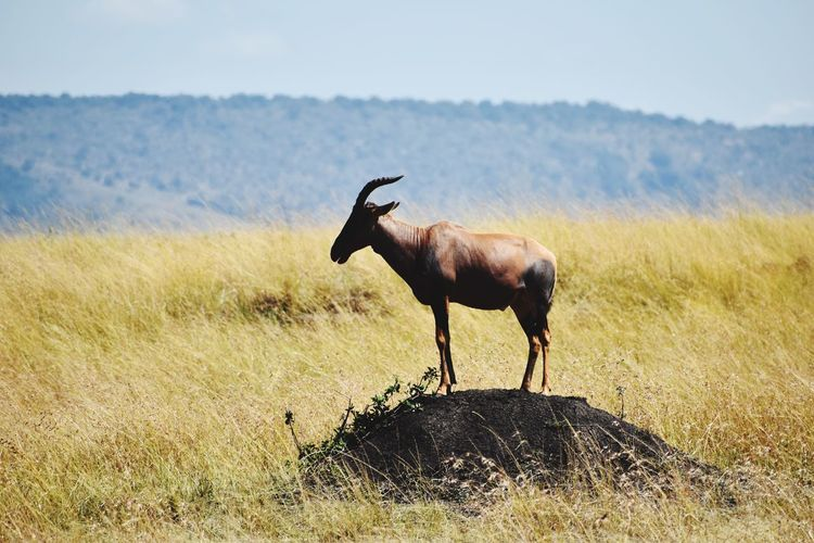 Side view of mammal standing on field against sky