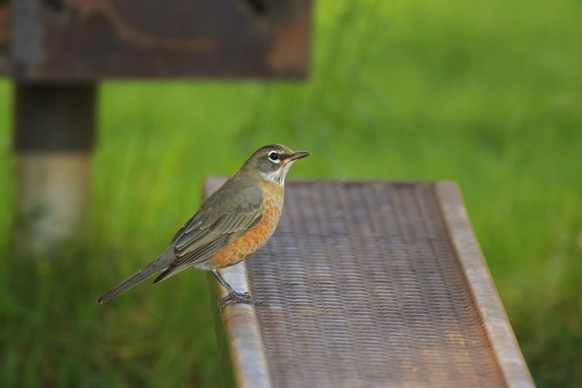 Robin At The Park Beautiful Birds Birdwatching Cute Animals Birds Canon 5d Mark Lll Best Of EyeEm Canon Animals I Hope My Pictures Touch Your Hart Animals In The Wild EyeEm Best Shots - Nature Beautiful Nature Wildlife Photography Nature Birds Of EyeEm  EyeEm Best Shots Robin Redbreast American Robin Thrush United States Spring Has Arrived
