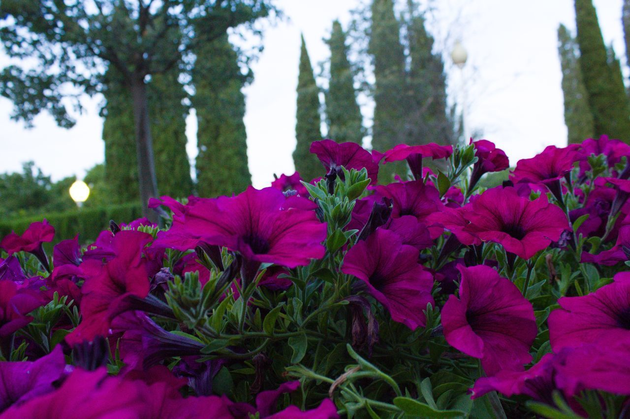 plant, flowering plant, flower, beauty in nature, freshness, growth, vulnerability, fragility, close-up, pink color, petal, inflorescence, flower head, nature, day, no people, focus on foreground, land, tree, green color, outdoors, purple, flowerbed