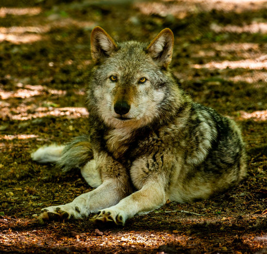The look Animal Wildlife Animals In The Wild Canine Day Field Land Looking At Camera Mammal Nature No People One Animal Outdoors Pets Portrait Sitting Vertebrate Wolf