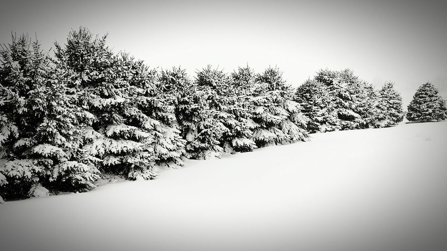 Pine Trees Natural Fence Snow Covered Trees Winter Black And White Randolph Wisconsin