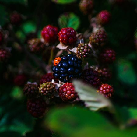 Perspectives On Nature Fruit Berry Fruit Food And Drink Healthy Eating Growth Freshness Red Blackberry Food Berry Raspberry Rowanberry Outdoors No People Close-up Nature Day Tree Beauty In Nature