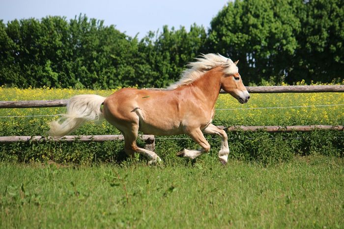 beautiful haflinger horse is running on a paddock in the sunshine Haflinger Running Action Active Animal Animal Themes Blond Hair Domestic Domestic Animals Fast Field Garden Grass Green Color Haflinger Horse Herbivorous Land Livestock Mammal One Animal Paddock Plant Riding Sport Wildlife