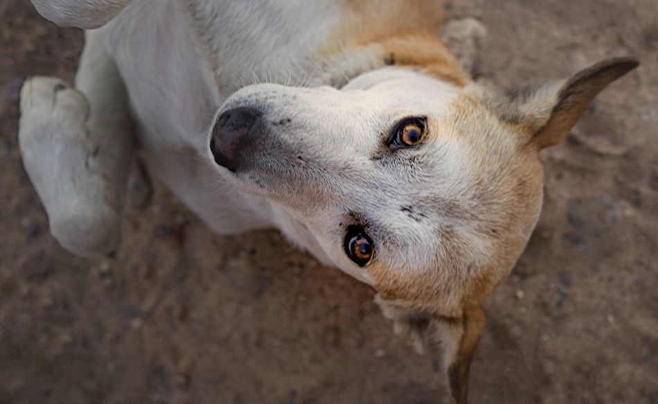 Hurghada, Egypt Stray Dog Animal Animal Body Part Animal Eye Animal Head  Animal Mouth Animal Nose Animal Themes Close-up Day Domestic Domestic Animals Egyptian Dog Egyptian Stray Dog Focus On Foreground Herbivorous High Angle View Livestock Looking At Camera Mammal No People One Animal Outdoors Pets Portrait Standing Street Dog Surender Surrendering Vertebrate