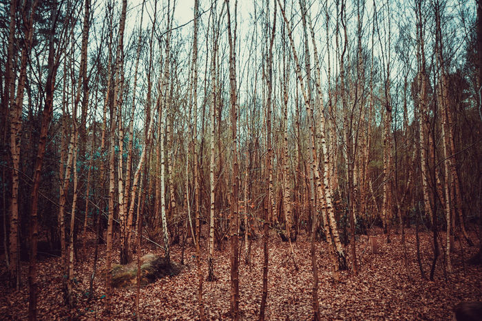 Background Beauty In Nature Day Dense Woodland Forest Full Frame Landscape Landscape_Collection Lots Of Leaves Nature No People Outdoors Silver Birch Tranquility Tree Vibrant Color WoodLand